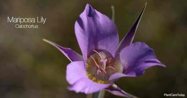 Calochortus Lily - Mariposa Lily Plant