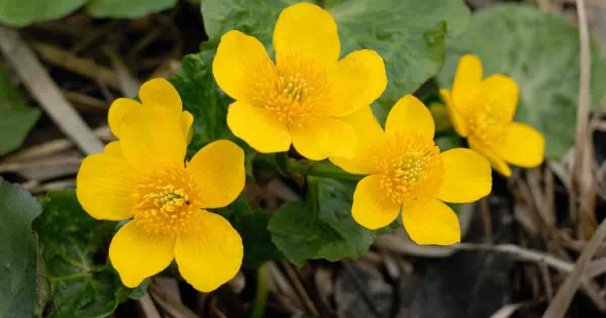 Yellow flowering Caltha Palustris