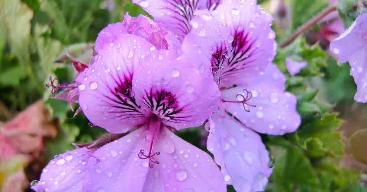 Drops of water on Martha Washington geranium flower