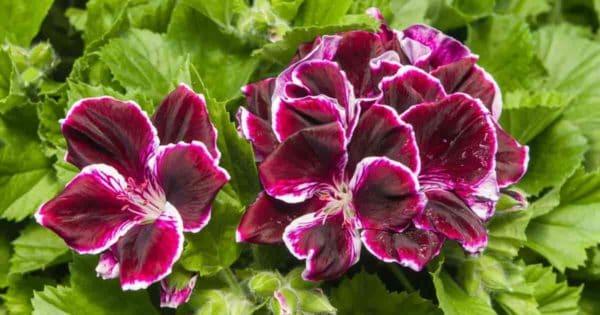 Regal or Martha Washington geranium with purple blooms