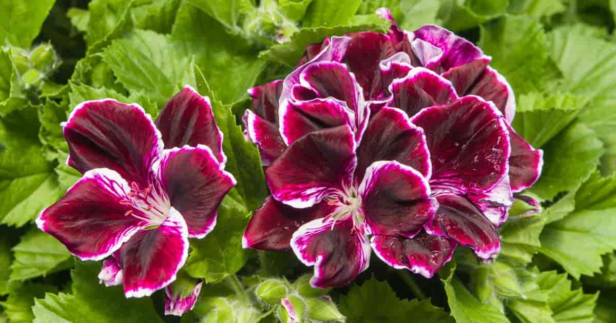 Martha Washington geranium with purple blooms