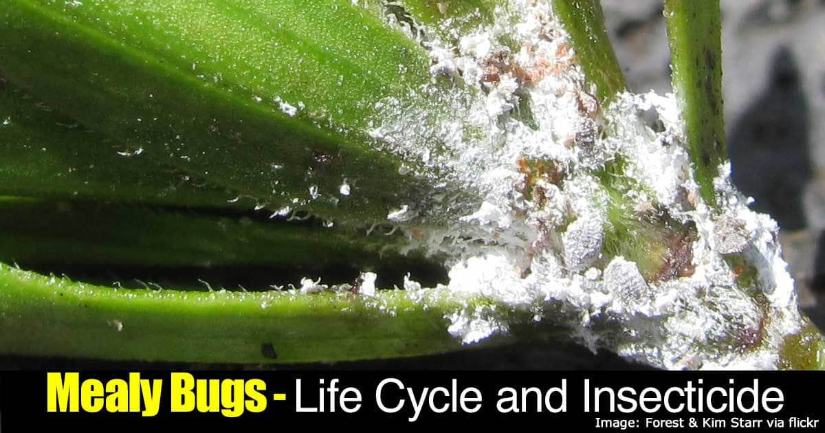 Mealybugs Control Guide How To Kill Annoying Mealy Bugs