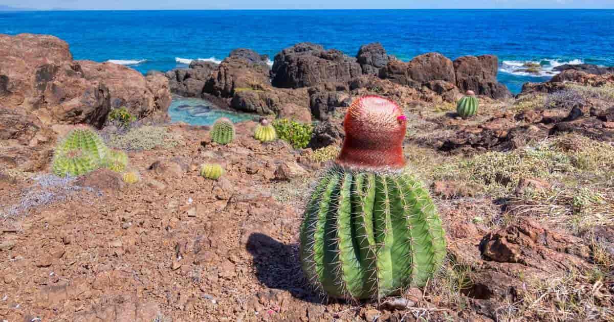 Turk's Cap growing in the Caribbean