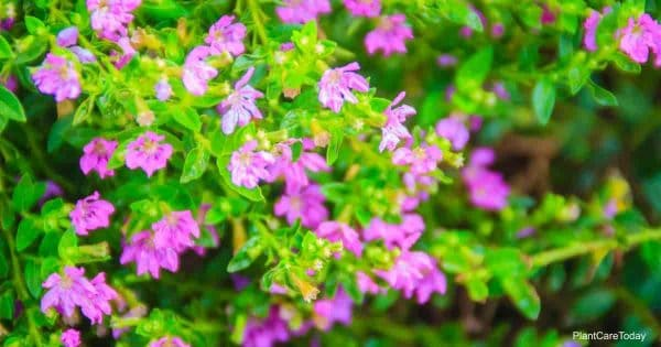 flowering Mexican Heather plant (Cuphea hyssopifolia)