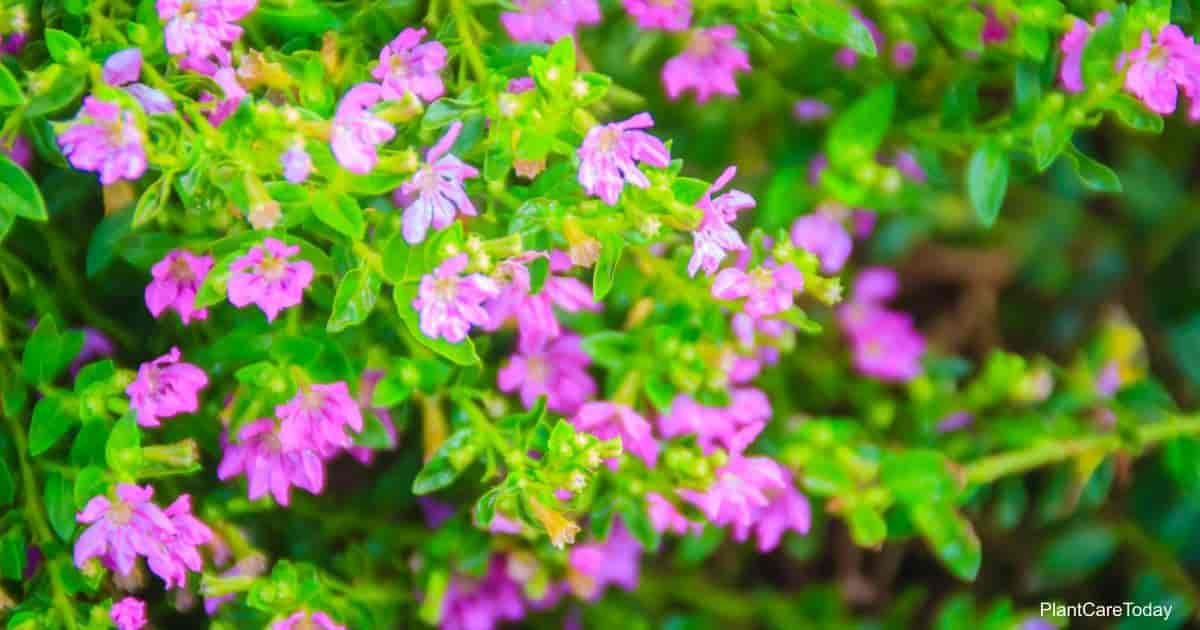 Dainty Blooming Mexican Heather plant