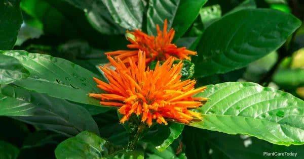 FLowering Mexican Honeysuckles – Justicia Spicigera