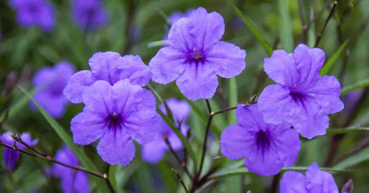 Purple flowers of Ruellia Brittoniana