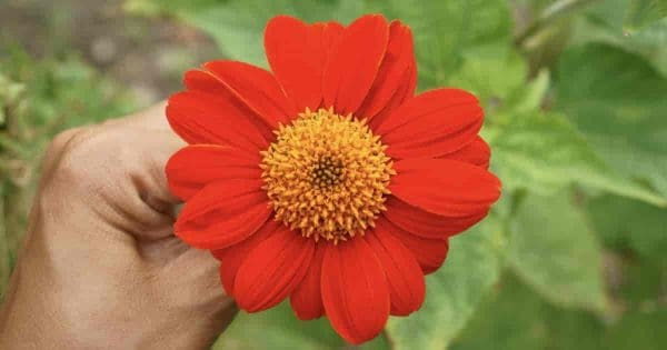 Mexican sunflower being held in a hand