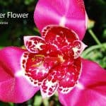Mexican Tiger Flower: How To Care For The Tigridia