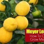 Meyer Lemon Tree Care: How To Grow Meyers Lemon