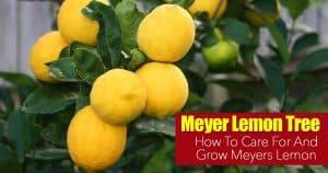 Meyers Lemon tree with fruit