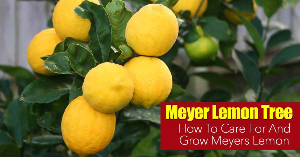 Meyer lemon tree care how to grow meyers lemon Planting lemon seeds for smell