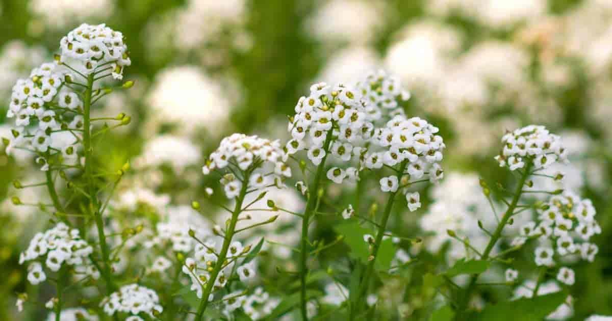 Flowering Mignonette plant (aka Reseda Plant)