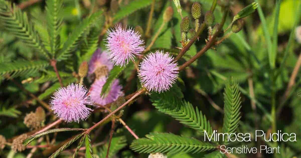 Sensitive Plant (Mimosa Pudica) with flowers