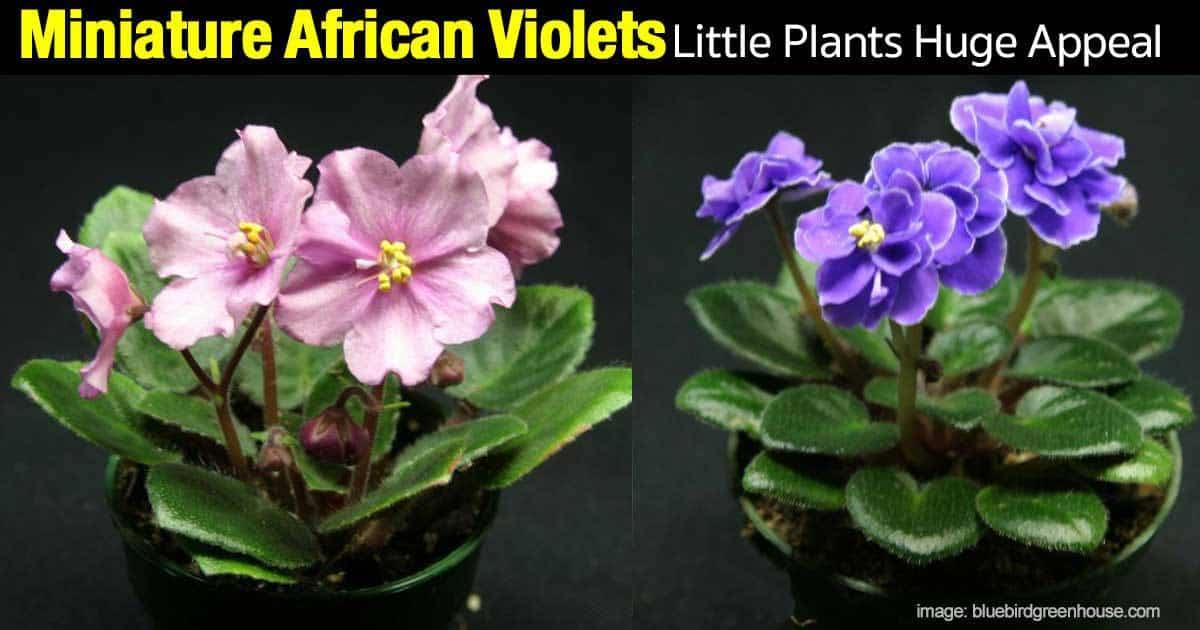 minature-african-violet-08312015