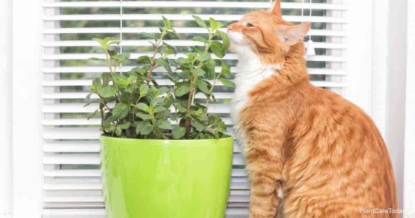Cat smelling a potted mint