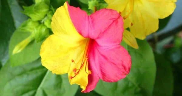 Colorful Four O'clock Bloom - Mirabilis Jalapa