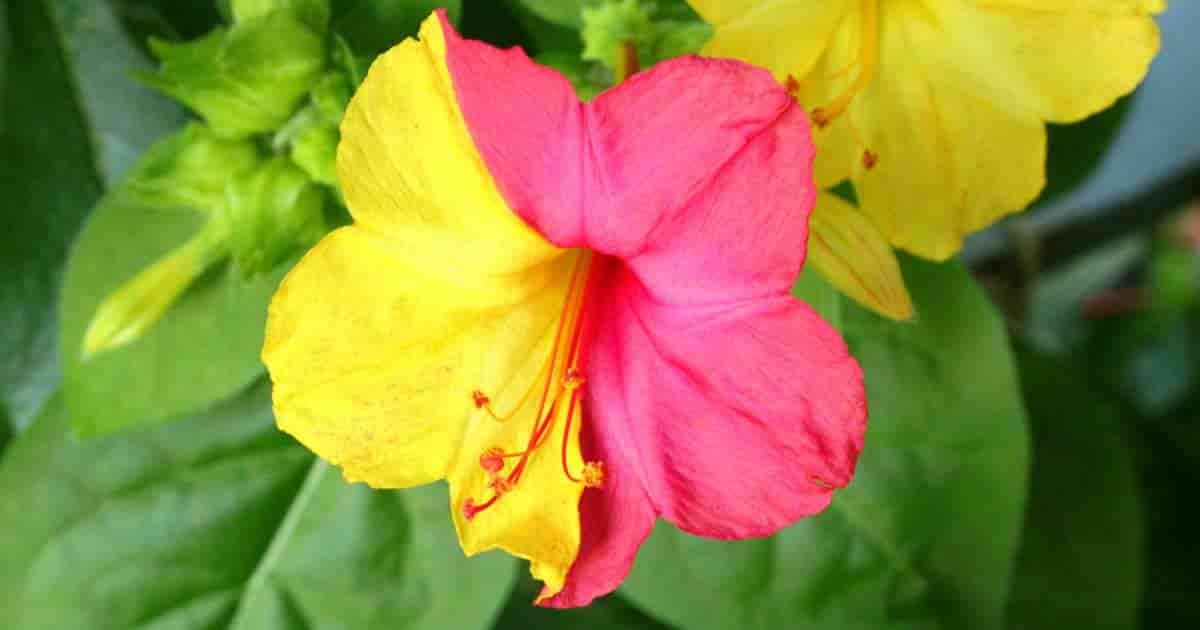 Colorful Four O'clock Flowers - Mirabilis Jalapa