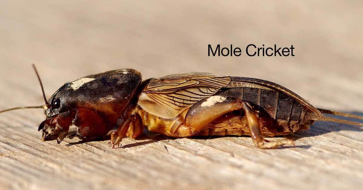 mole-cricket-01312016