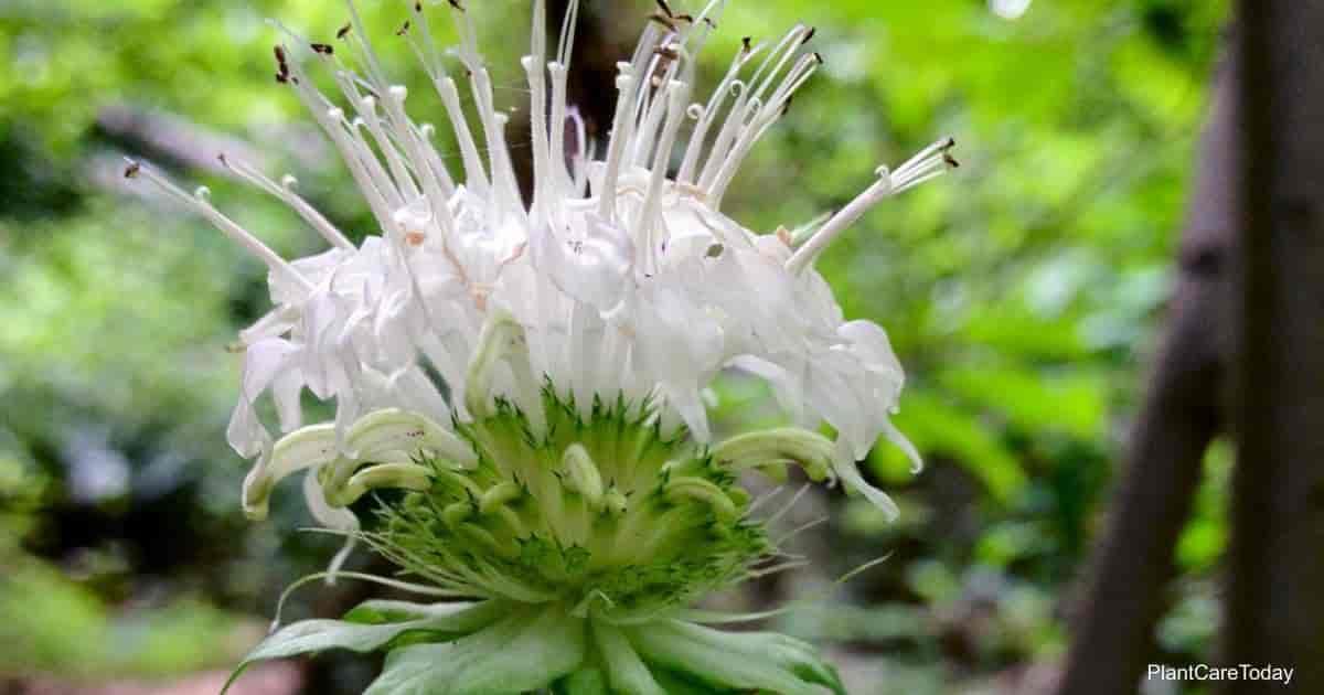 Flowering White Monarda Clinopodia (white bergamot)