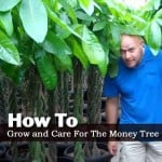 Money Tree Care: Growing The Braided Money Plant [TIPS]