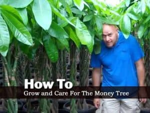 collection of braided Money Trees