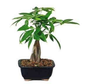 money tree plant growing as a bonsai