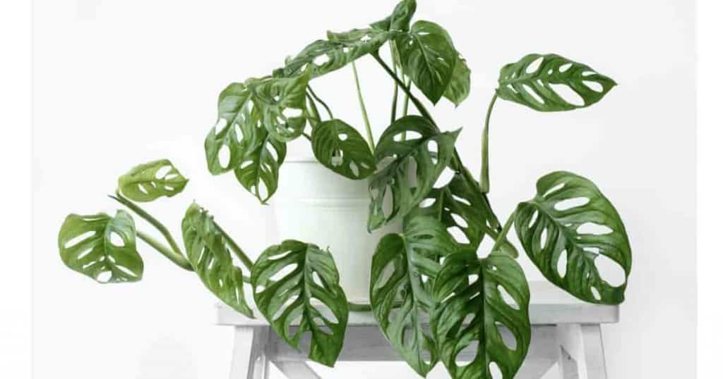 Grow Friedrichsthalii plants in a basket or potted