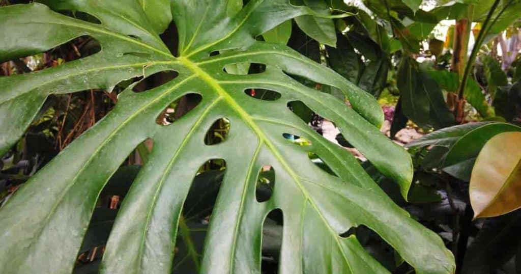 gren fendeu a folha da planta monstera
