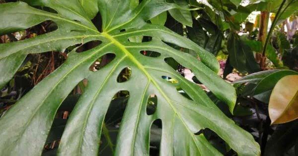gren split leaf of the monstera plant