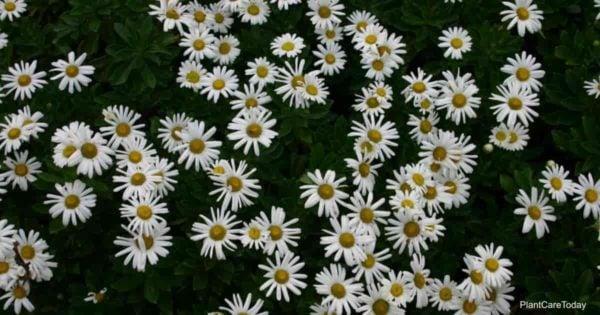 Flowers of the Montauk Daisy - Nipponanthemum nipponicum