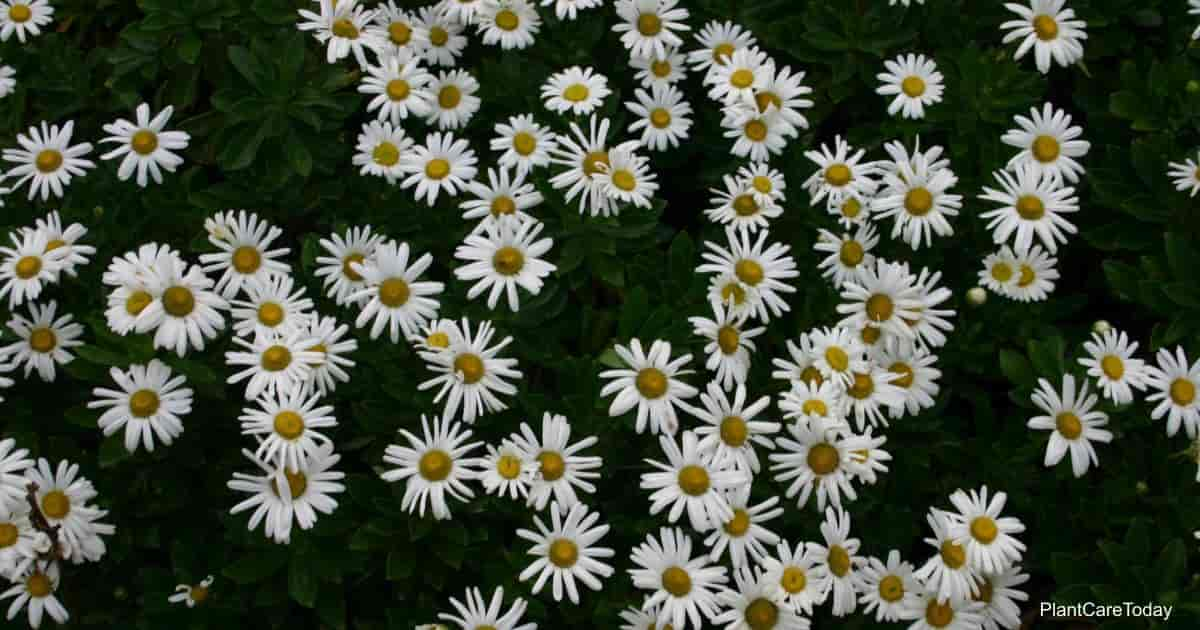 Blooms of the Montauk Daisy - Nipponanthemum nipponicum