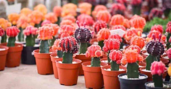 collection of red cap Gymnocalycium moon cactus