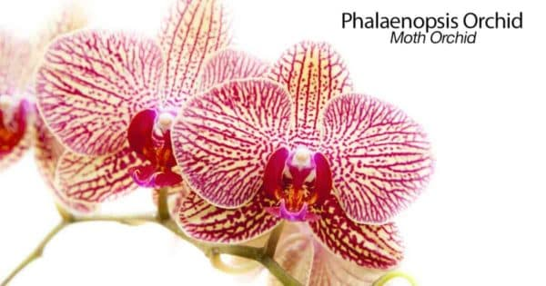 Blooms of the Moth orchid - Phalaenopsis
