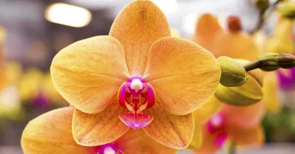 "Close up of moth orchid Phalaenopsis ""Sunset"""