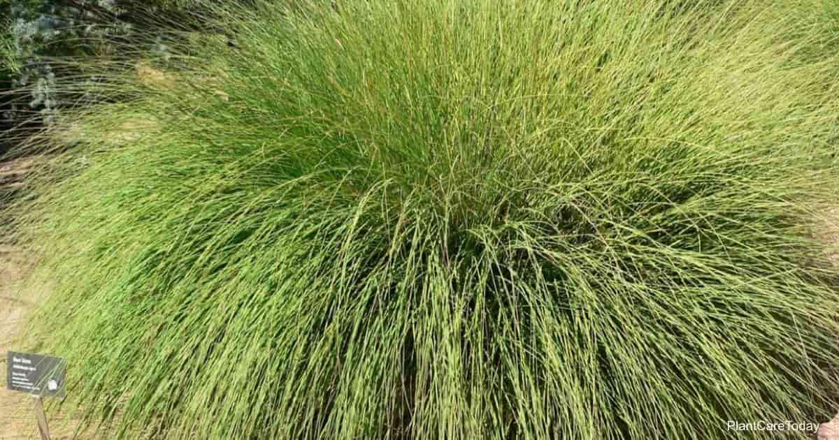 deer grass (Muhlenbergia Rigens)