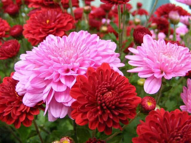 Bright flowering mums