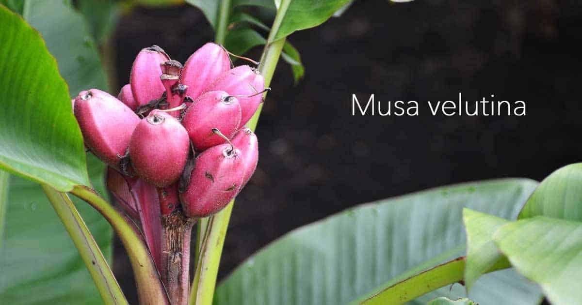 musa-velutina-11302016
