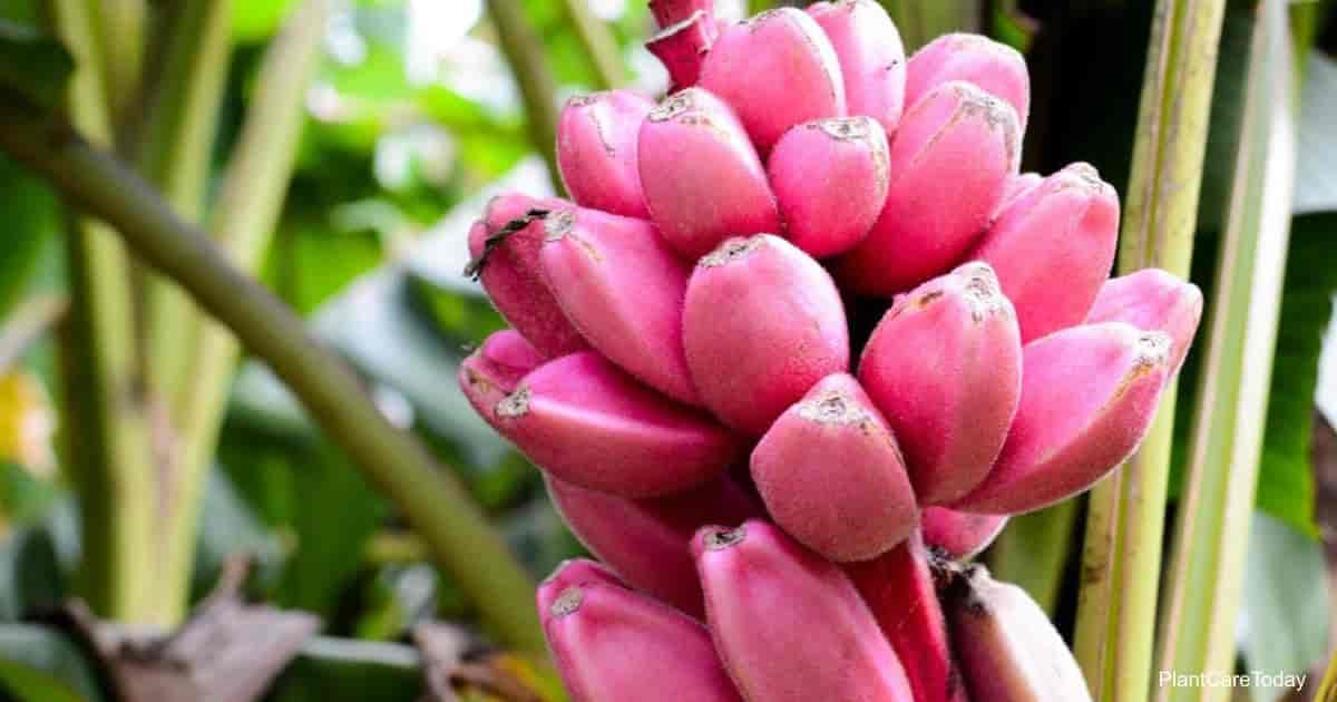 fruit of the pink banana - Musa velutina