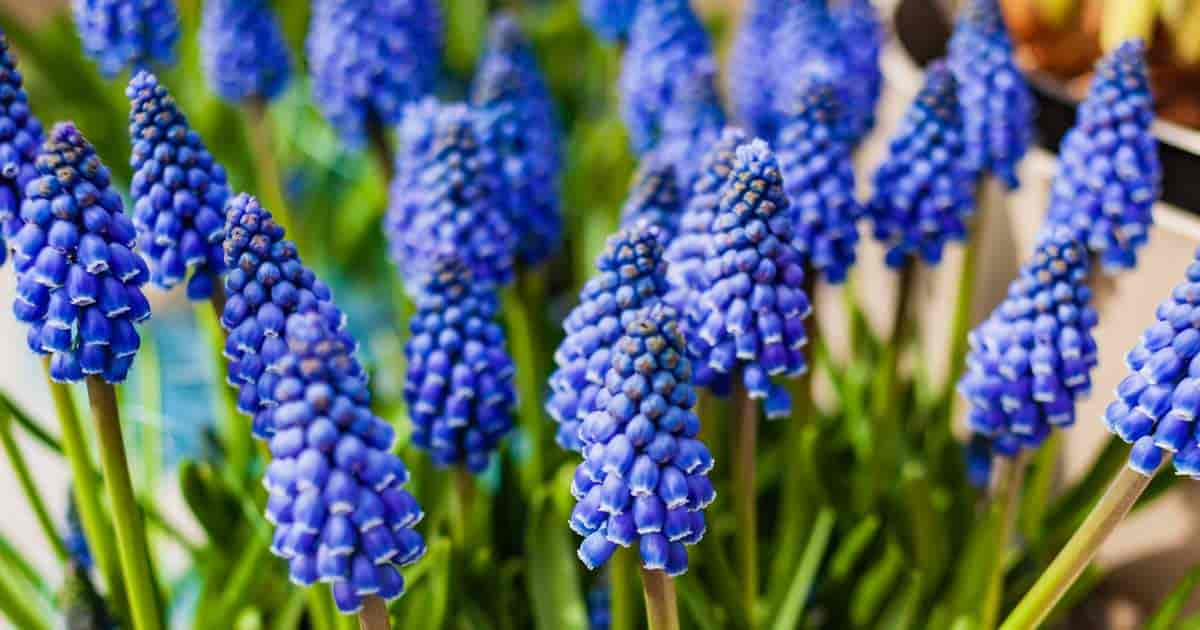 Flowering Muscari bulbs