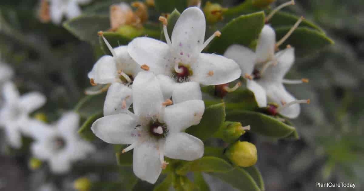 Flowering Myoporum parvifolium plant