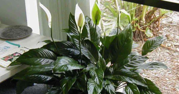 Peace lily a NASA clean air plant