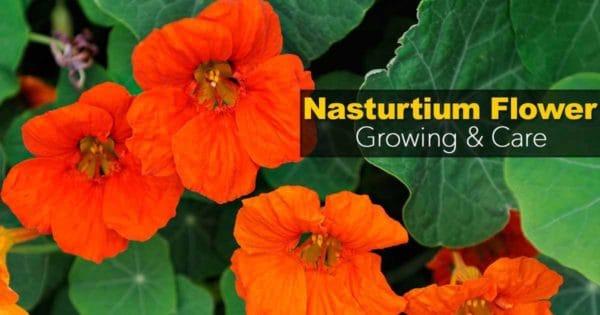 nasturtium-flower-09302016
