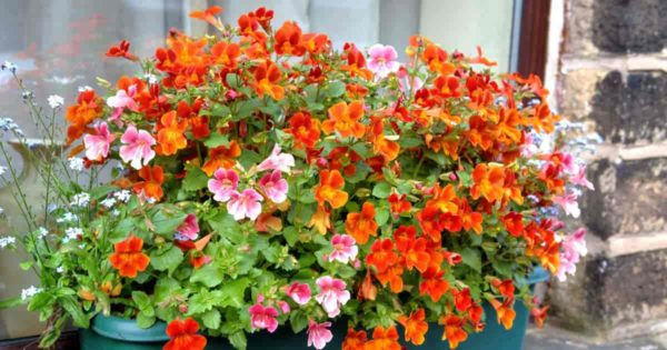flowering Nemesa in a window box