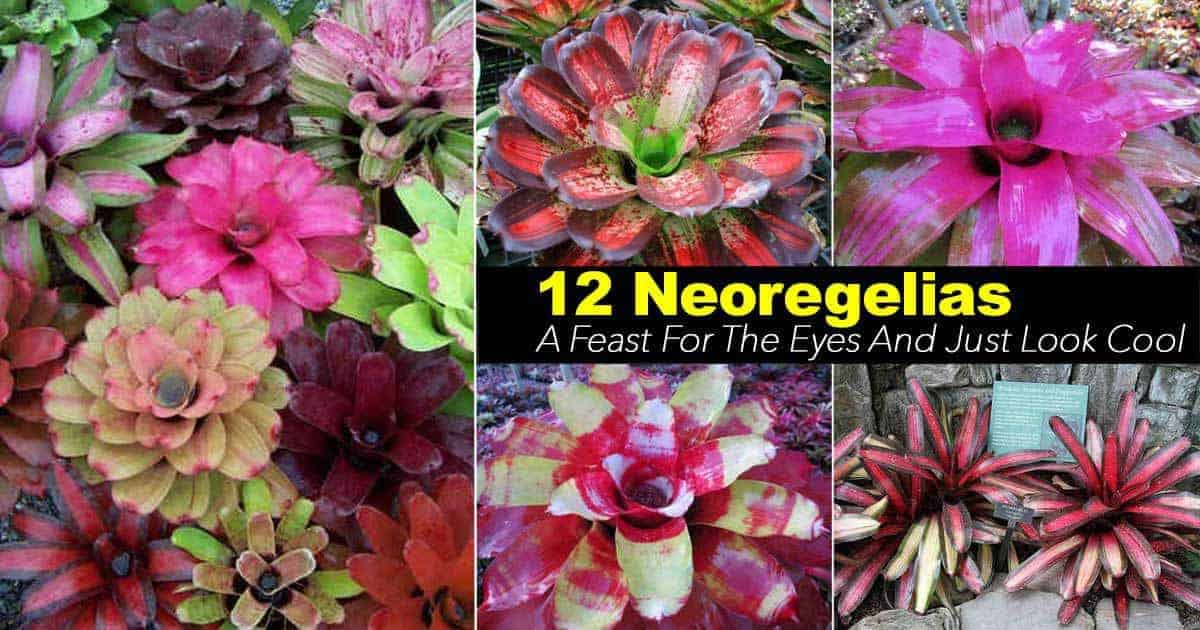colorful assortment of neoregelia bromeliad plants