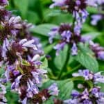 Growing and Care Of Catmint Plant: Nepeta Faassenii