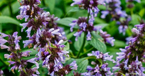 Blooming Nepeta Faassenii Catmint