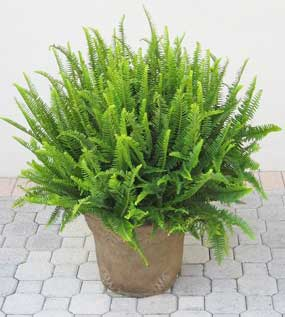nephrolepis-emerald-queen-8