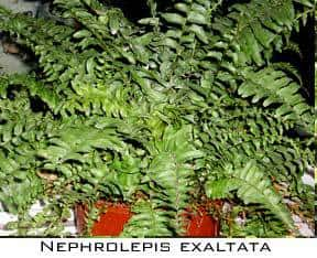 potted nephrolepis exaltata common boston fern