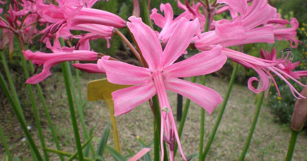 Pink Flowering Nerine bowdenii lily